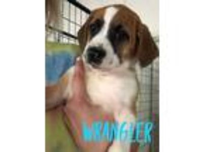 Adopt Wrangler a Hound (Unknown Type) / Mixed dog in Mooresville, NC (25335973)