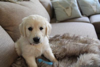 Beautiful Golden Retriever Puppy for sale