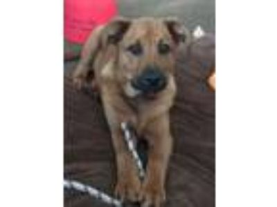 Adopt Jack a German Shepherd Dog, Belgian Shepherd / Malinois