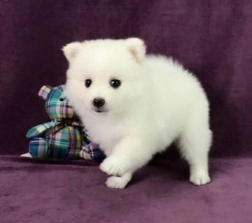 Japanese Spitz PUPPY FOR SALE ADN-80161 - Japanese Spitz female puppy for LA SF