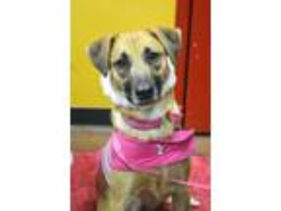 Adopt Pepper a Red/Golden/Orange/Chestnut - with Black Hound (Unknown Type) /