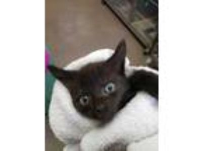 Adopt Gobstopper a All Black Domestic Shorthair / Domestic Shorthair / Mixed cat