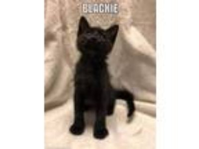 Adopt Blackie a All Black Domestic Shorthair / Mixed cat in Shreveport