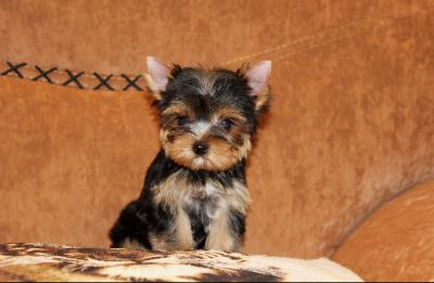 Yorkshire Terrier PUPPY FOR SALE ADN-77341 - Beautiful Teacup Yorkie Female Puppy