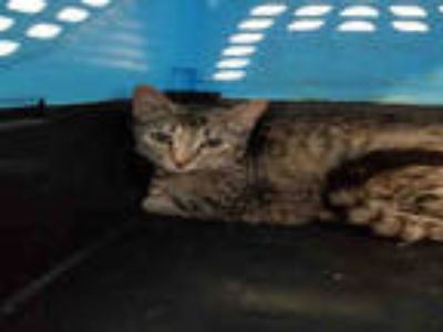 Adopt *BELLA a Brown Tabby Domestic Shorthair / Mixed (short coat) cat in