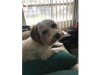 Adopt Bailey Biscuit (Bonded w Ginger Snap) a Yorkshire Terrier