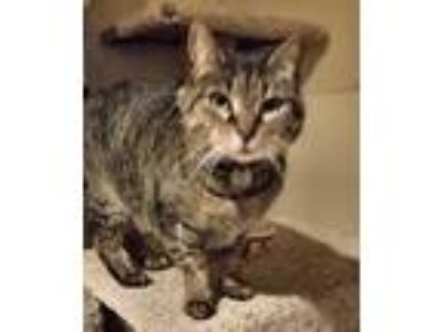 Adopt Alice a Brown Tabby Domestic Shorthair / Mixed cat in Christiansburg