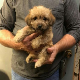 Yorkie-Poo PUPPY FOR SALE ADN-107388 - YorkiePoo Puppies