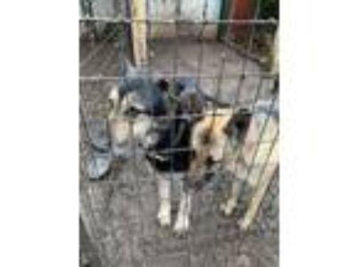 Adopt Lobo & Buffy (Bonded Pair) a German Shepherd Dog