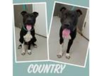 Adopt COUNTRY a Black - with White American Pit Bull Terrier / Mixed dog in