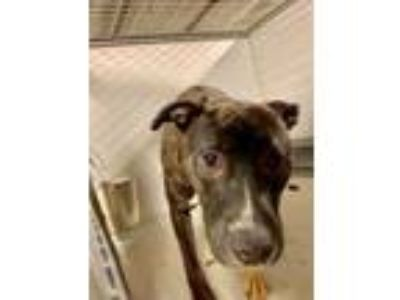 Adopt Bella Jean a Black American Pit Bull Terrier / Mixed dog in Kansas City