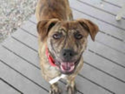 Adopt MYLO a Brindle American Pit Bull Terrier / Shar Pei / Mixed dog in Mesa