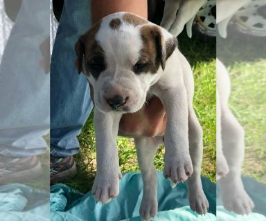 American Bulldog PUPPY FOR SALE ADN-130972 - NKC registered American bulldogs