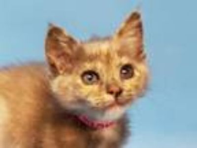 Adopt Sardine a Domestic Short Hair