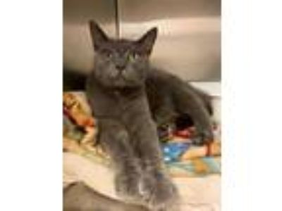 Adopt Odie a Gray or Blue Domestic Shorthair / Domestic Shorthair / Mixed cat in