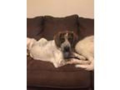 Adopt Gunner a Tricolor (Tan/Brown & Black & White) Bluetick Coonhound / Blue