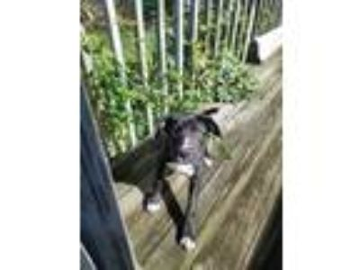 Adopt Rayne a Black - with White Retriever (Unknown Type) / Pointer dog in