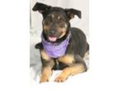 Adopt Donnie (in foser home) a German Shepherd Dog, Mixed Breed