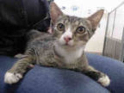 Adopt ROMEO a Brown Tabby Domestic Shorthair / Mixed (short coat) cat in Doral