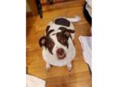 Adopt Layla a Chocolate Labrador Retriever, Pointer
