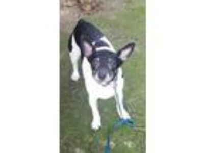 Adopt Penny a Black - with White Rat Terrier / Jack Russell Terrier / Mixed dog