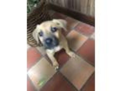 Adopt Monkey Belle a Black Mouth Cur