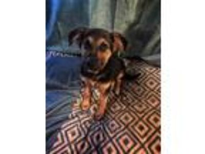 Adopt Sailor a Brown/Chocolate - with Tan German Shepherd Dog dog in Hot