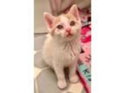 Adopt Firestar a Orange or Red (Mostly) Domestic Shorthair (short coat) cat in