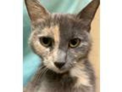 Adopt Eden a Gray or Blue Domestic Shorthair / Domestic Shorthair / Mixed cat in