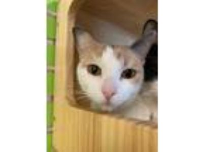 Adopt Mayflower a White Domestic Shorthair / Domestic Shorthair / Mixed cat in
