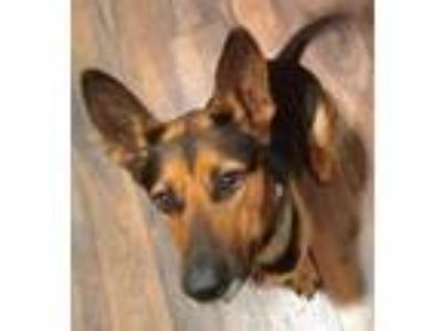 Adopt Zoey a Black German Shepherd Dog / Mixed dog in Battle Ground