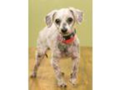 Adopt Bjorn a Poodle, Mixed Breed
