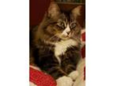 Adopt Honey a Brown Tabby Norwegian Forest Cat cat in Big Bear City
