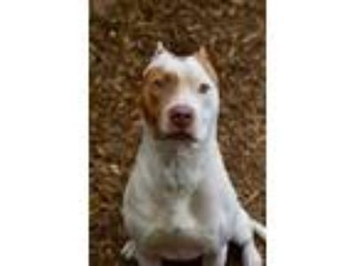 Adopt Timmy a Pit Bull Terrier