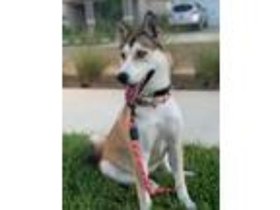 Adopt Louise a Husky / Mixed dog in North Fort Myers, FL (25801286)
