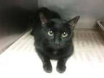 Adopt CINDER a Domestic Short Hair