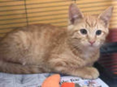 Adopt BLAKE a Orange or Red Tabby Domestic Shorthair / Mixed (short coat) cat in