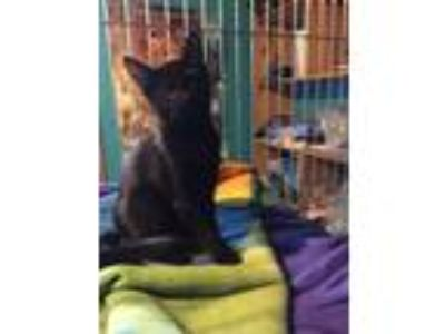 Adopt Jackie a Domestic Short Hair