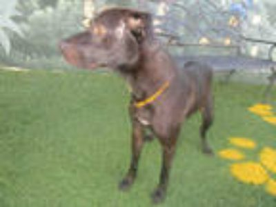 Adopt a Black - with White Labrador Retriever / Mixed dog in Winter Haven
