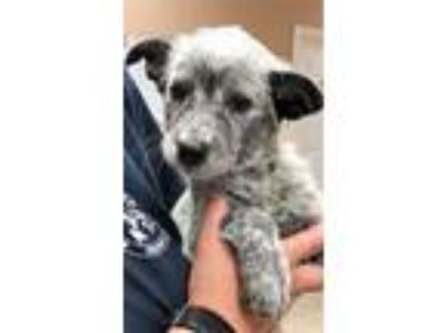 Adopt Riley a Australian Cattle Dog / Mixed dog in Great Bend, KS (25881746)