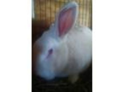 Adopt Spike a Albino or Red-Eyed White New Zealand / Mixed (medium coat) rabbit