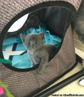 4 Generation Pedigree Russian Blue Kittens