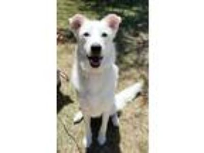 Adopt Maggie a White Labrador Retriever / Mixed dog in Cedar Hill, TX (25895453)