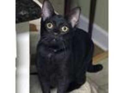 Adopt Dinky a All Black Domestic Shorthair / Mixed cat in Garner, NC (22850194)