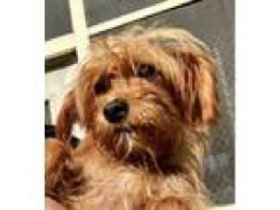 Adopt Lilly a Yorkshire Terrier, Jack Russell Terrier