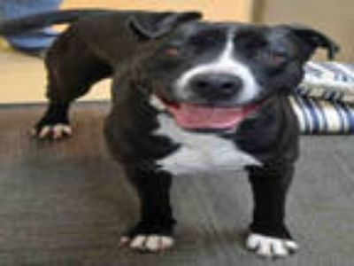 Adopt TITAN a Black - with White American Staffordshire Terrier / Mixed dog in