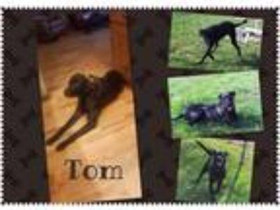 Adopt Tom a Black Great Dane / Labrador Retriever / Mixed dog in Jerome