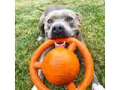 Adopt Angel a American Staffordshire Terrier