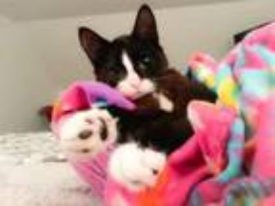 Adopt Pixie - SPECIAL NEEDS a Domestic Short Hair