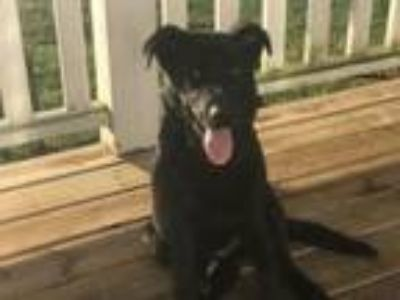 Adopt Tatum a Labrador Retriever, Flat-Coated Retriever